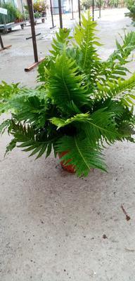 Blechnum gibbum 'Silver Lady' (kapradina) - 1