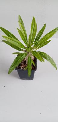 Pachypodium lamerei var. ramosum - 1