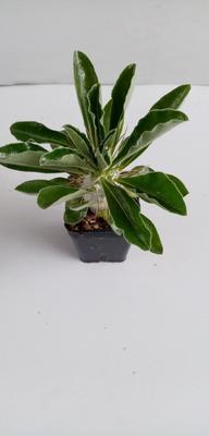 Pachypodium saundersii - 1