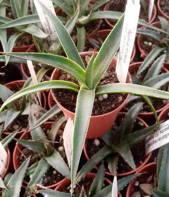 Agave filifera v. compacta - 1