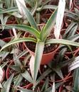 Agave filifera v. compacta - 1/2