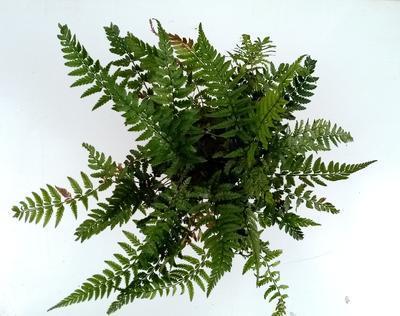 Polystichum tsus-simense (kapradina) - 1