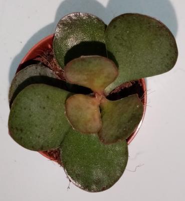 Adromischus rupicola - 1