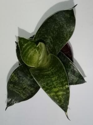 Sansevieria trifasciata 'Hahnii' - 1