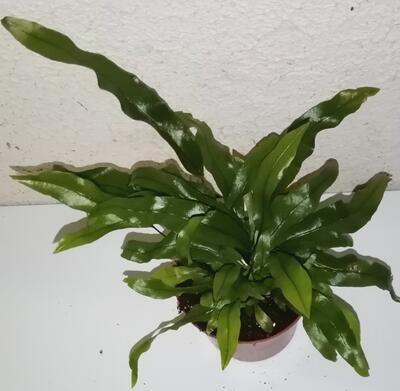 Microsorum diversifolium - 1