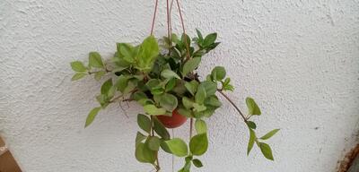 Peperomia pereskiifolia (velká rostlina) - 1