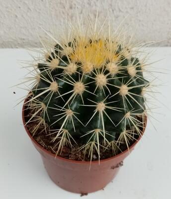 Echinocactus grusonii - 1