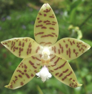 Phalaenopsis pallens - 1