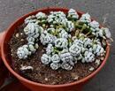 Crassula corallina f. mini - 1/3