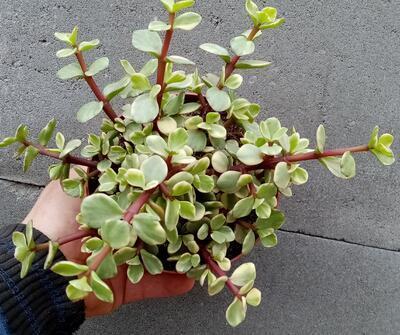 Portulacaria afra 'variegata' - 1