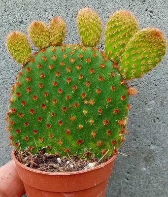 Opuntia microdasys v. rufida - 1