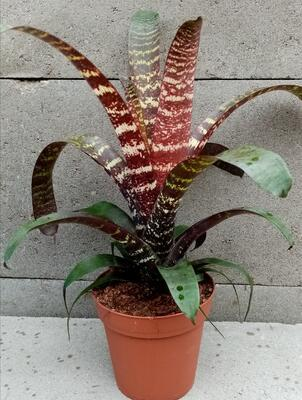 Vriesea fenestralis 'Red Chestnut' - 1