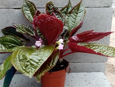 Monolena primuliflora 'Midnight Glory' - 1