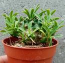 Euphorbia bupleurifolia - 1/3