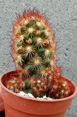 Mammillaria elongata var. rubrispina - 1