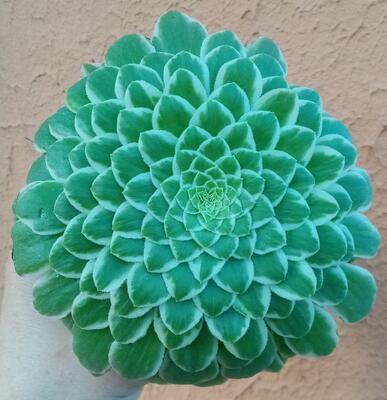 Aeonium tabuliforme 'variegata' - 1