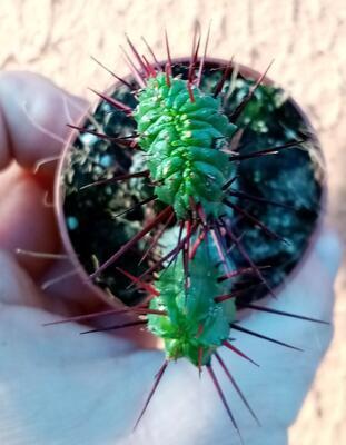 Euphorbia enopla 'monstroza' - 1