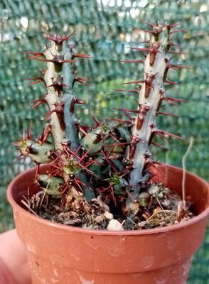 Euphorbia aeruginosa - 1