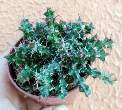 Euphorbia lenewtonii - 1