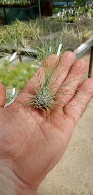 Tillandsia fuchsii v. gracilis - 1