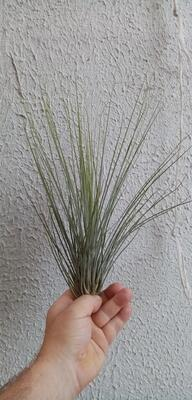 Tillandsia setacea - 1