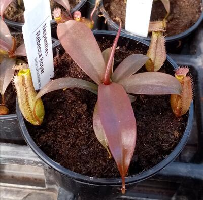 Nepenthes 'Rebecca Soper' - 1