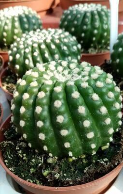 Notocactus uebelmannianus var. inermis - 1