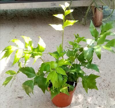 Cyrtomium falcatum (kapradina) - 1
