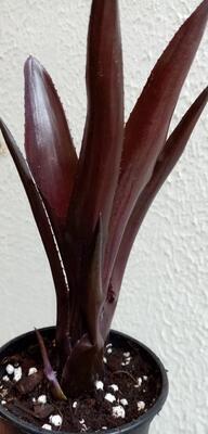 Neoregelia 'Damalis' - 1