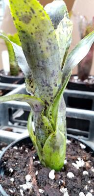 Neoregelia pauciflora - 1