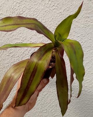 Callisia fragrans - 1