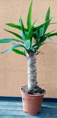 Yucca elephantipes - 1