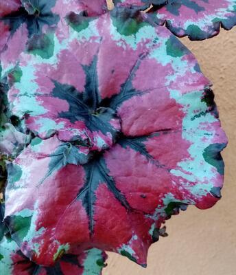 Begonia rex #7 (velký trs) - 1