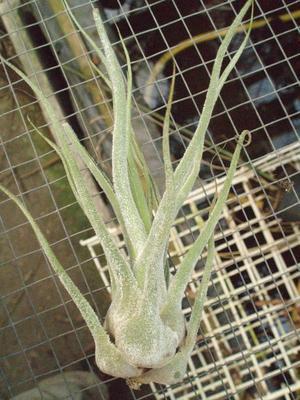 Tillandsia pruinosa f. Colombia - 1
