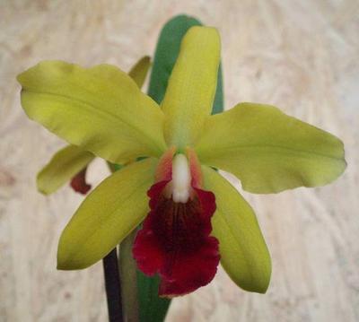 Katleya (Cattleya) - kvetoucí orchidej - 1