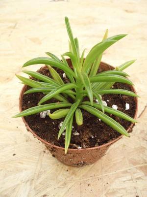 Peperomia axilaris (menší) - 1