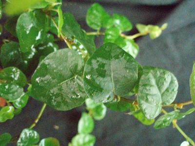 Ficus pumila - 1