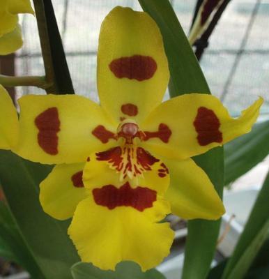 Kvetoucí orchidej Odontocidium #2 - 1