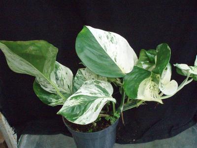Scindapsus pinnatus 'Happy Leaf' - 1