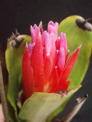 Quesnelia humilis - 1