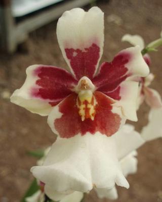 Kvetoucí orchidej Cambria #8 - 1