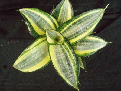 Sansevieria trifasciata 'Golden Hahnii' - 1