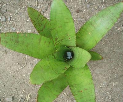 Střevíčník kvetoucí - Paphiopedilum - 1