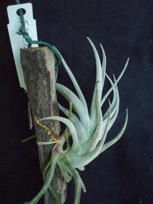 Tillandsia subsecundifolia - 1