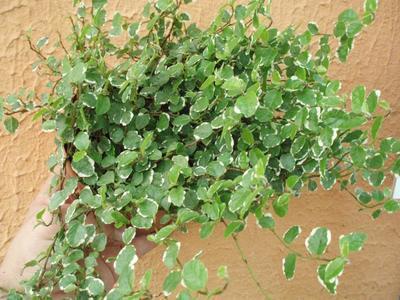 Ficus pumila 'variegata' - 1