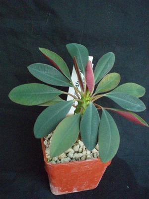 Euphorbia pachypodioides - 1