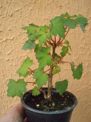 Begonia dregei - 1