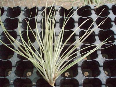 Tillandsia floribunda (malá) - 1