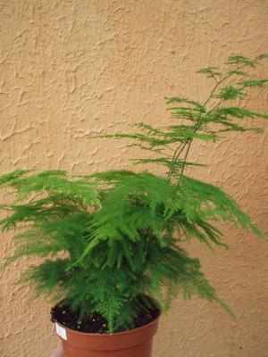Asparagus plumosus - 1