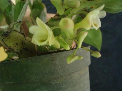 Dendrobium lamellatum - 1